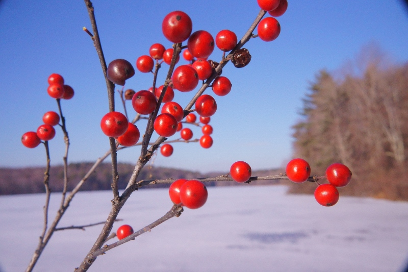 winterberry use (800x533)