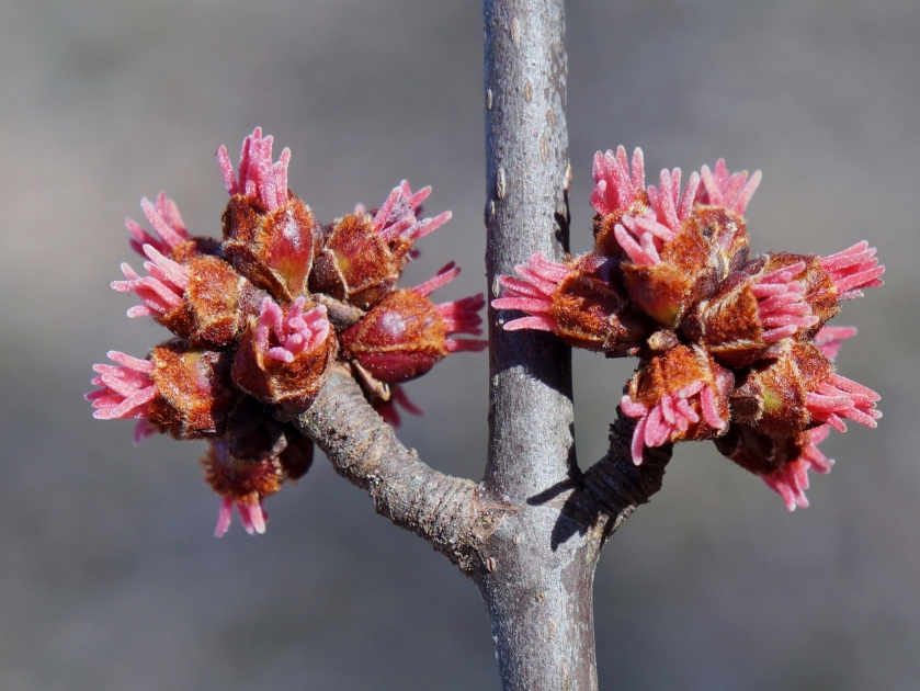 sliver maple buds